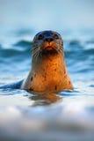 Stående av skyddsremsan i havet Atlantiska Grey Seal, stående i mörkret - blått vatten med morgonsolen Simning för havsdjur i oce Arkivbild