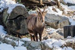 Stående av stenbocken i vintersäsong Royaltyfri Bild