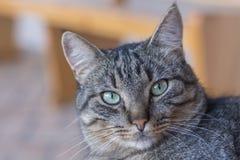 Stående av strimmiga katten royaltyfri bild
