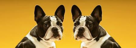 Stående av symmetriska franska bulldoggar över gul bakgrund Arkivfoto