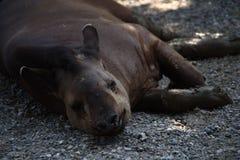 Stående av tapir Royaltyfri Foto