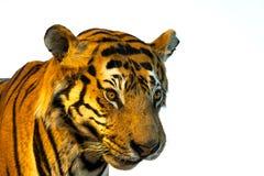 Stående av tigern, tigerframsida bakgrund isolerad white Royaltyfri Fotografi