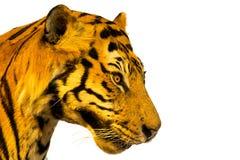 Stående av tigern, tigerframsida isolerat på vit bakgrund med Fotografering för Bildbyråer