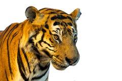 Stående av tigern, tigerframsida på vit bakgrund Arkivfoton