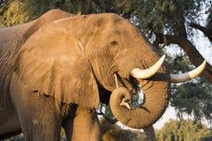 Stående av tjuren för afrikansk elefant (Loxodontaafricanaen) arkivbild