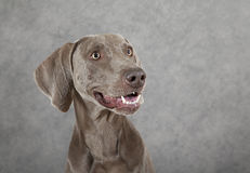 Stående av tre år gammal Weimaraner hund Fotografering för Bildbyråer