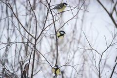 stående av tre gulliga fågelmesar i parkerasammanträdet på en filial Royaltyfria Foton