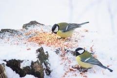 stående av tre gulliga fågelmesar i parkerasammanträdet på en filial Royaltyfria Bilder