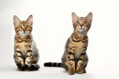 Stående av två Bengal Kitten Sitting på vit bakgrund royaltyfri foto