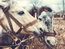 Stående av två hästar i profilnärbild fotografering för bildbyråer