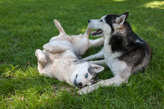 Stående av två hundkapplöpning - Siberian skrovligt arkivfoton