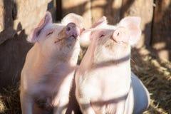 Stående av två inhemska svin som ser till och med ett staket Arkivfoton
