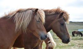Stående av två isländska hästar Kastanjebrun och flaxen kastanj arkivfoton