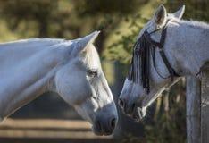 Stående av två vita hästar som avskiljs av ett staket royaltyfri fotografi