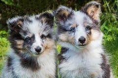 Stående av två yougsheltiehundkapplöpning arkivfoto