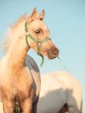 Stående av ungstoen för welsh ponny på himmelbakgrund close upp Arkivfoto