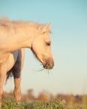 Stående av ungstoen för welsh ponny på himmelbakgrund close upp Royaltyfri Bild