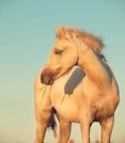 Stående av ungstoen för welsh ponny på himmelbakgrund close upp Royaltyfri Fotografi
