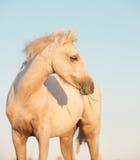 Stående av ungstoen för welsh ponny på himmelbakgrund close upp Royaltyfria Bilder