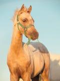 Stående av ungstoen för welsh ponny på himmelbakgrund close upp Arkivbild