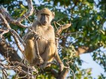 Stående av ungt afrikanskt savannahbabiansammanträde i filial av ett träd på den soliga dagen, Chobe NP, Botswana, Afrika Royaltyfri Bild