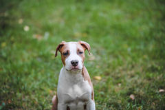 Stående av valpen amerikanska Staffordshire Terrier royaltyfri fotografi