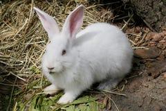 Stående av vit kanin Arkivbild