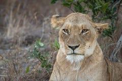 Stående av vuxet vila för lejoninna arkivbilder