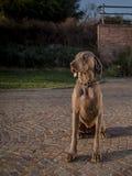 Stående av weimaranerhunden Royaltyfria Bilder