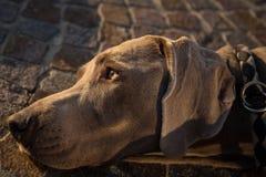 Stående av weimaranerhundhuvudet Royaltyfria Foton