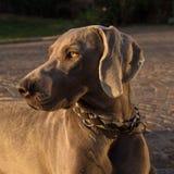 Stående av weimaranerhundhuvudet Royaltyfri Foto