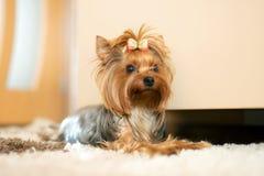 Stående av Yorkshire Terrier som lägger på golv royaltyfri fotografi