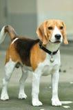Stående beagle Arkivbild