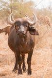 Stående belägen mitt emot kamera för afrikansk buffel arkivbild