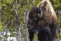 Stående bison Arkivbilder