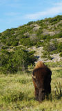 Stående bison Arkivfoton