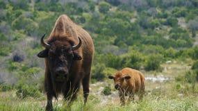 Stående Bison Cow och kalv Arkivfoton
