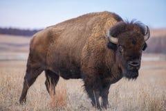 Stående bison, Kansas Fotografering för Bildbyråer