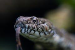 Stående Closeup av en orm, Viperine orm, natrix maura fotografering för bildbyråer