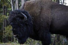 Stående closeup för stor enorm bisonbuffeltjur arkivbilder