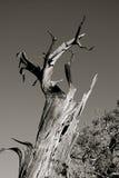 Stående dött träd Arkivbilder
