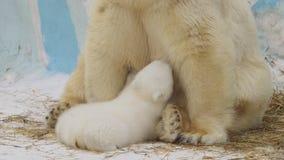 STÅENDE: Den polara hon-björnen sitter och matar hennes gröngöling i en zoo arkivfilmer