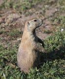 Stående en Gunnisons präriehund som söker hans territorium för En Royaltyfri Bild