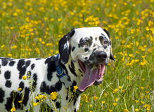 stående för 2 dalmatian Royaltyfria Foton