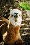 stående för 2 llama Fotografering för Bildbyråer