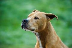 Stående för amerikanPit Bull Terrier hund Fotografering för Bildbyråer