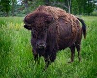 stående för amerikansk bison Arkivfoton