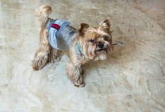 Stående för bästa sikt av en guld- yorkshire terrier i ett hygieniskt bälte, med en penna i munnen arkivfoton