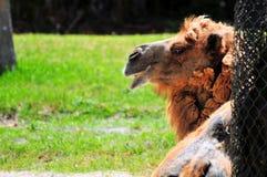 Stående för Bactrian kamel Arkivfoton