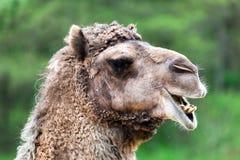 Stående för Bactrian kamel. Roligt uttryck Arkivfoto